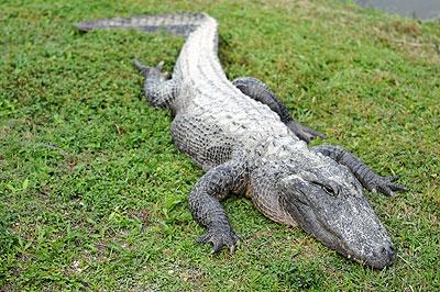 Aligator dans les Everglades